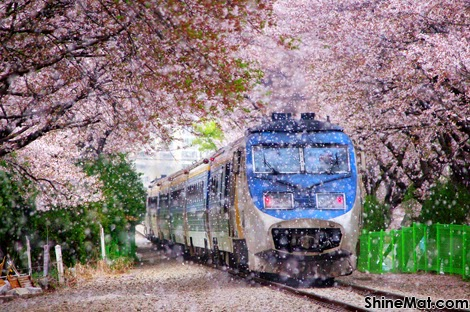 Cherry blossom,Hwaeomsa, South Korea