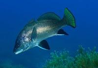 Foto de um peixe corvina do mar nadando