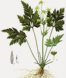 cây hoàng liên chữa bệnh dạ dày