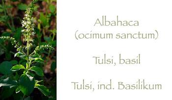 Albahaca - Tulsi