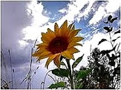 Lonely Sunflower Awaits Oncoming Storm.