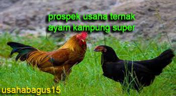 Prospek Usaha Ternak Ayam Kampung Super Prospek Usaha Ternak Ayam Kampung Super