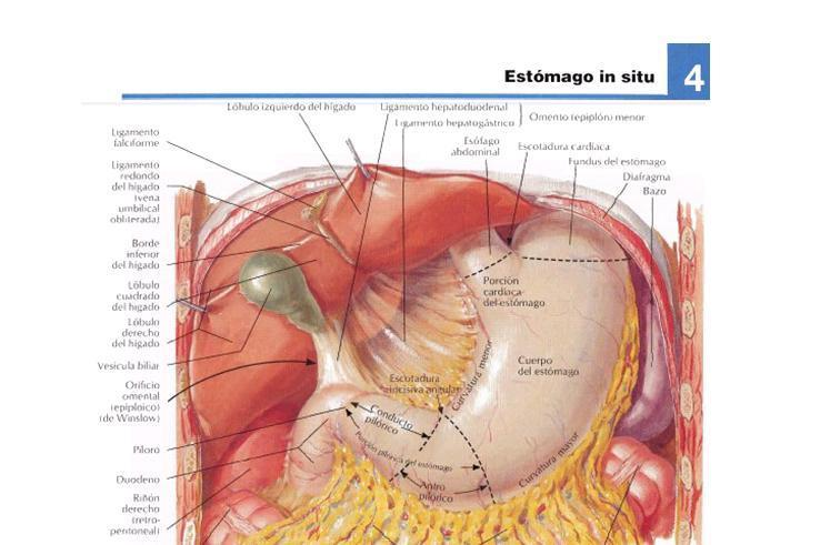 Fisio-Anato Digestivo: ANATOMÍA DEL SISTEMA DIGESTIVO