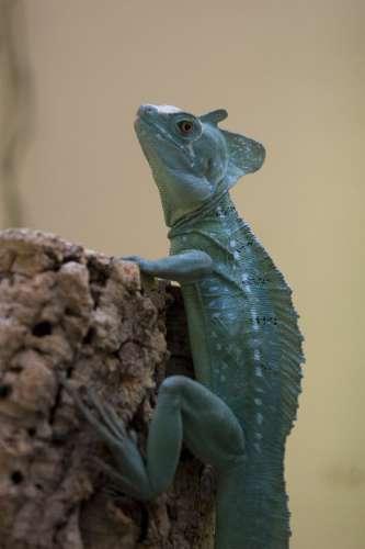 """The basilisk (""""Jesus lizard"""") frustrates evolutionists in several ways."""