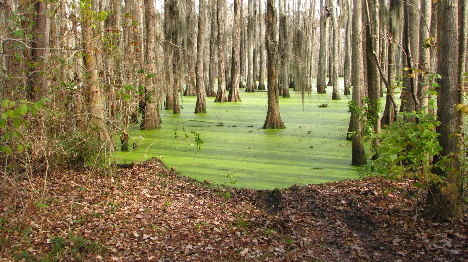 Halfway Swamp, Rimini, South Carolina BEFORE THE FLOOD OF 2015