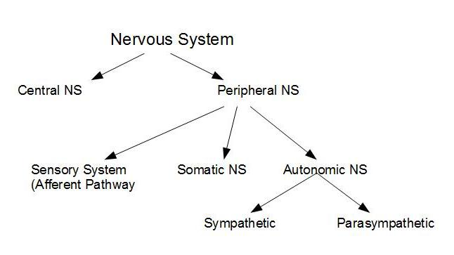 A vet to be autonomic nervous system the divisions of the nervous system can be summarised in the diagram below ccuart Image collections