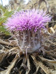 Le mandala phyto blog la plante toxique du mois le chardon glu atractylis gummifera - Plante a la gomme ...