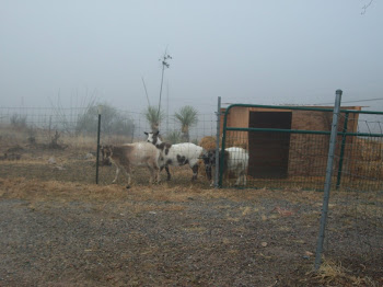 Goats in the fog