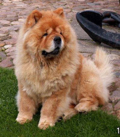 Chow Chow Puppies on Chow Chow Dogs