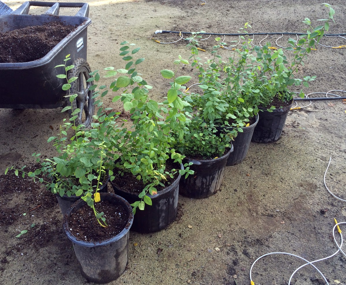 rose hybridizing hulthemia persica seedlings part 3