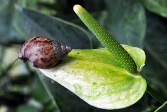 Anthurium andreanum