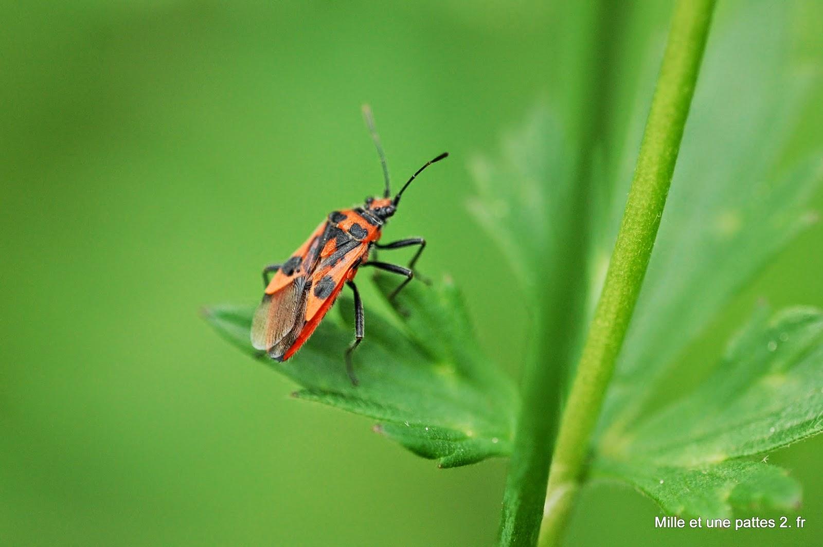 Mille et une pattes 2 une punaise rouge et noire - Insecte rouge et noir ...