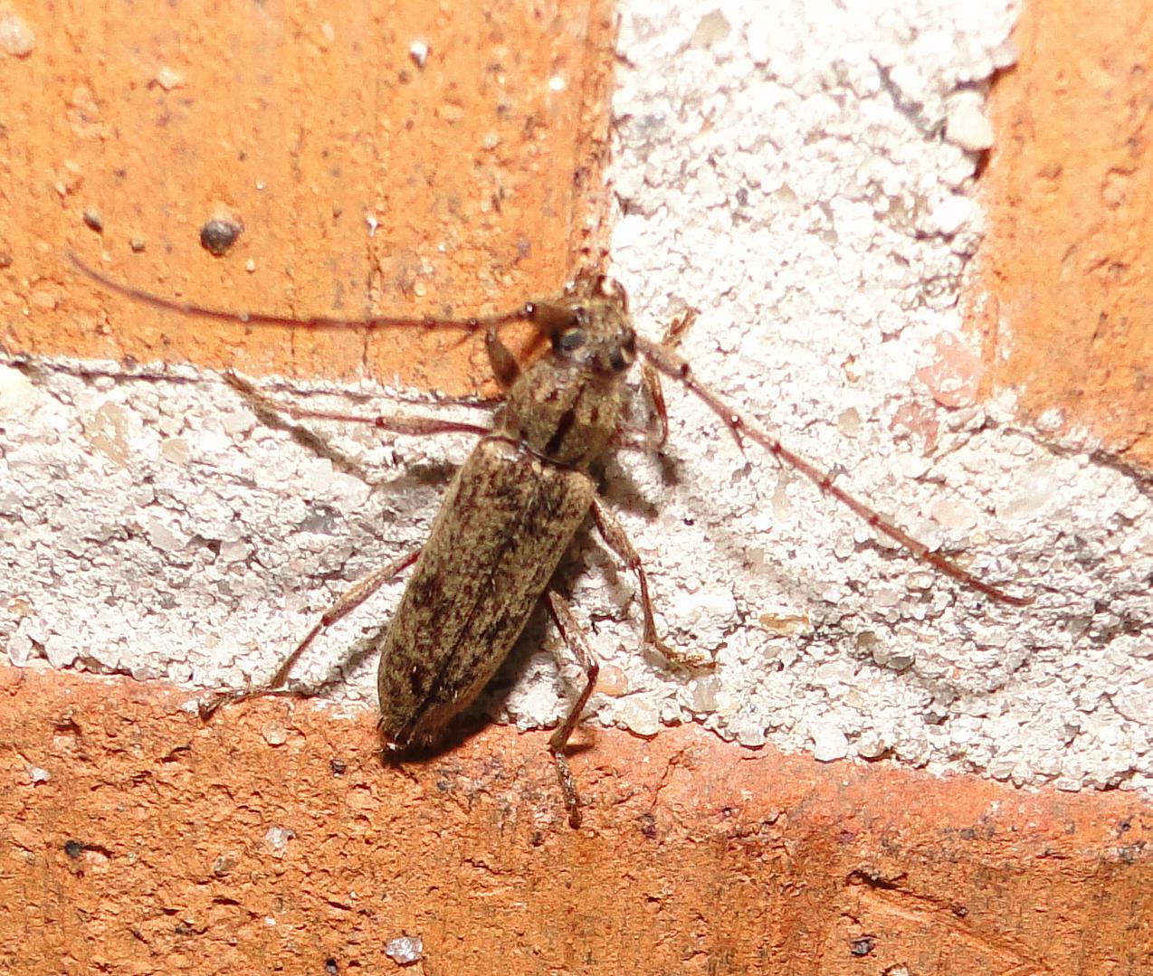 Wood Beetles Identification Carpenter Ants In House In