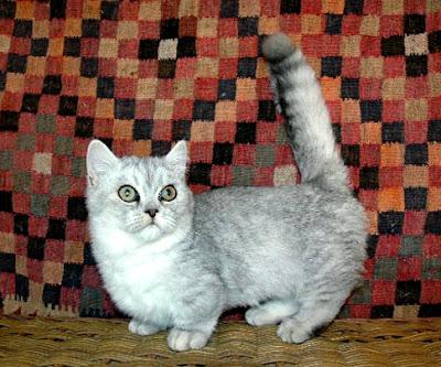 Foto Kucing Napoleon