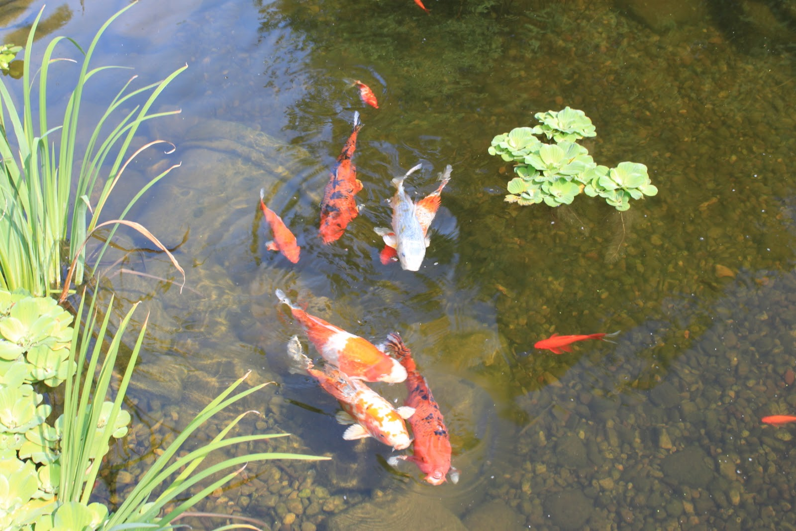 Confessions of a plant geek a visit to the green bay for Awesome koi ponds