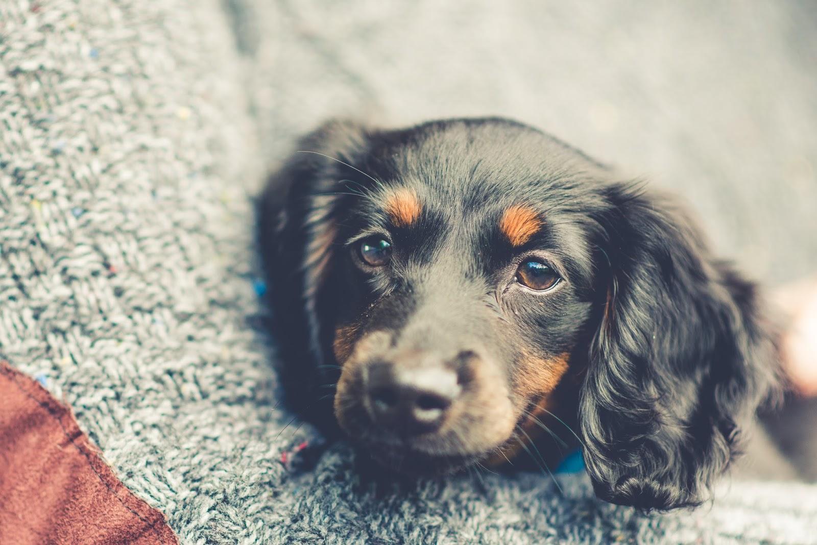 miniature dachshund puppy liquidgrain liquid grain hetty