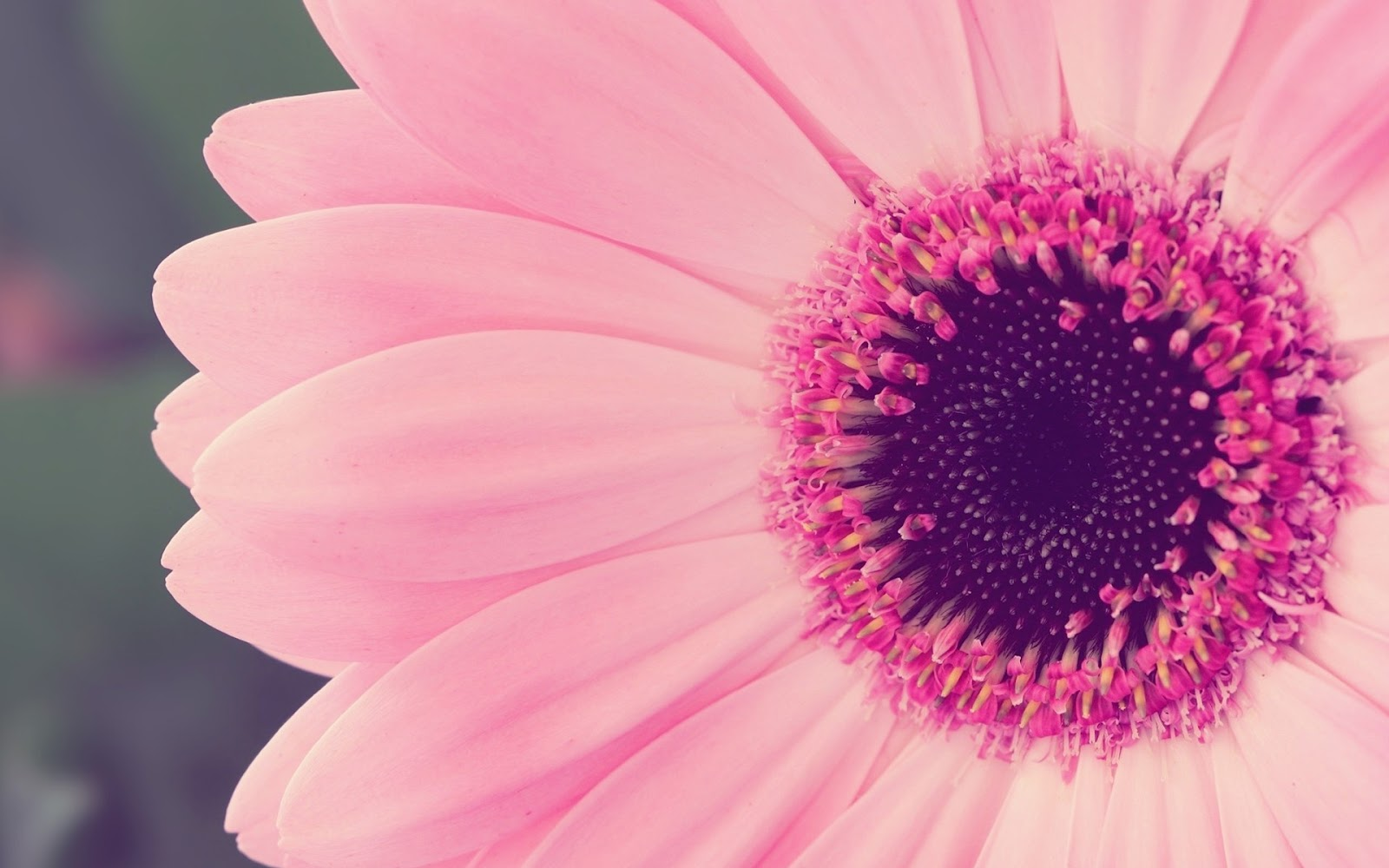 Canada floral delivery blog a few facts about gerbera daisies a few facts about gerbera daisies izmirmasajfo