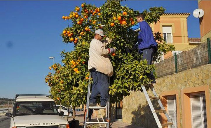 Recogida de naranjas sevilla
