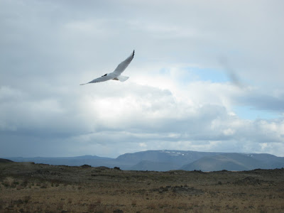 Flying bird, Iceland