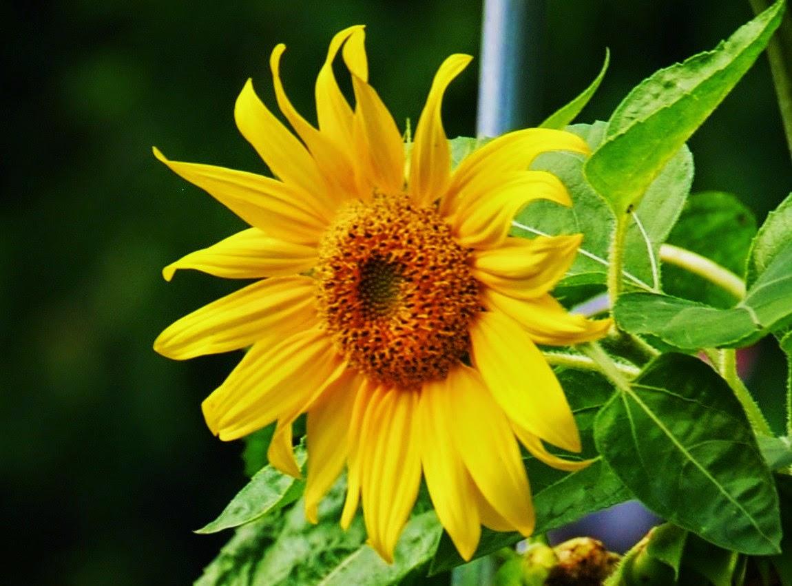 raising sunflower seeds for birds