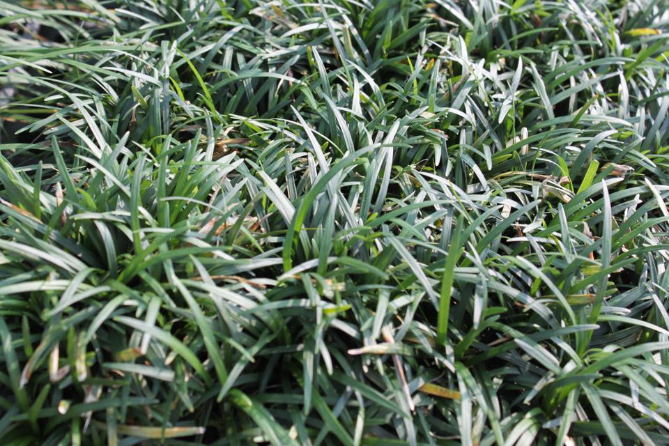 Fabulous ground covers strange 39 s florists greenhouses for Short variegated grass