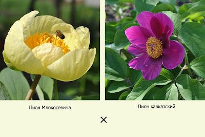 Paeonia mlokosewitschii × Paeonia caucasica = Paeonia × chameleon