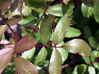 TEREBINTHINA CHIOS (Terebinto Pistacia Terebinthus)