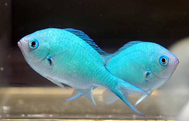 animal blue green chromis the green chromis or the blue green chromis ...