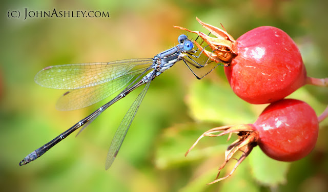 Damselfly on rose hip (c) John Ashley