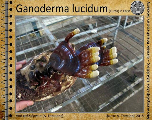 Ganoderma lucidum (Curtis) P. Karst.