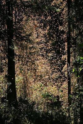 Santuario El Rosario en la Reserva Reserva de la Biosfera de la Mariposa Monarca