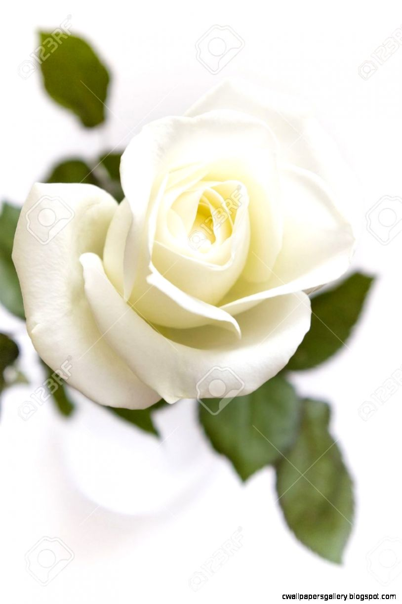 A Single White Rose In A Vase On White Background Stock Photo