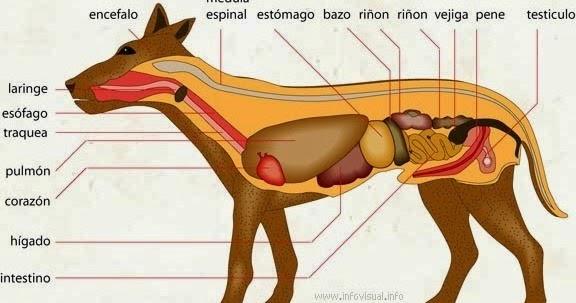 La anatomía: ANATOMÍA INTERNA Y EXTERNA DE UN PERRO
