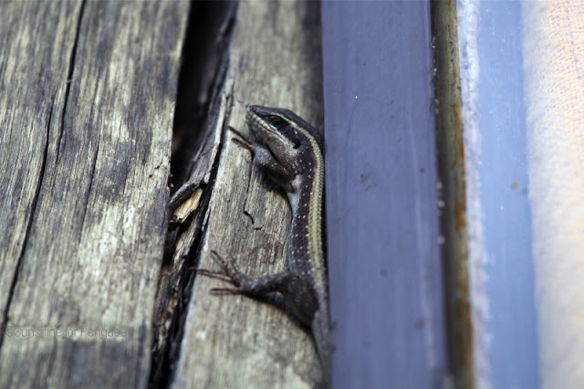 Striped Skink (Mabuya striata)