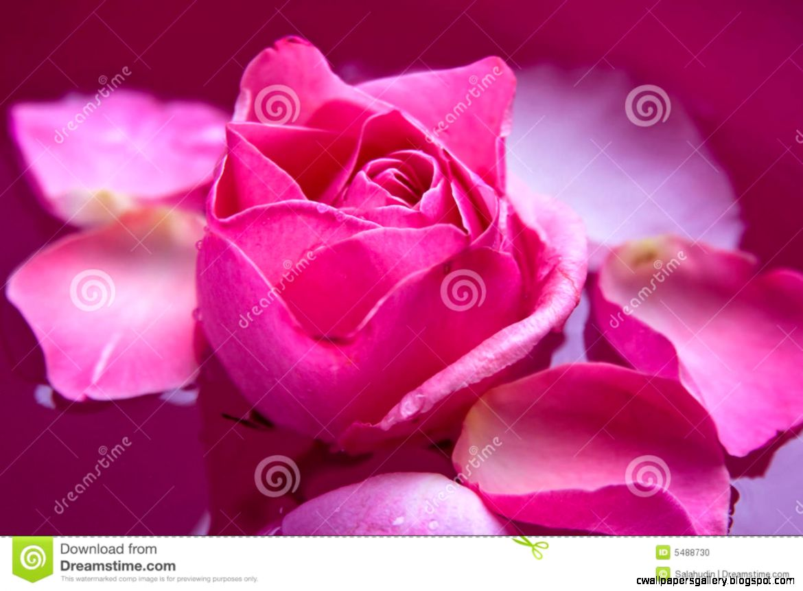 Purple Rose Flower Stock Photo   Image 5488730