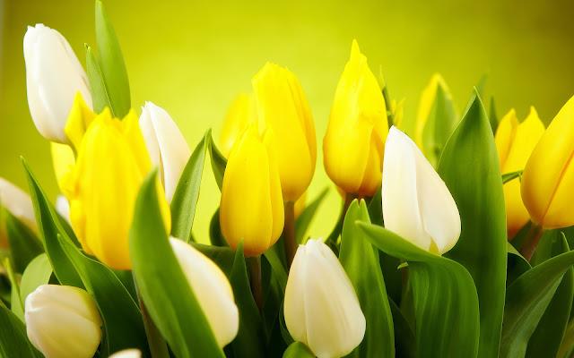 Bureaublad achtergrond met tulpen in de lente