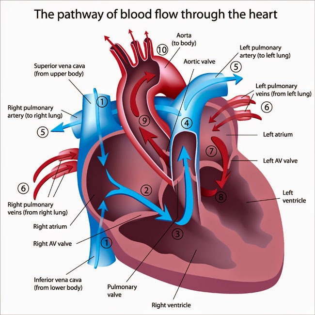 EDTA Chelation Therapy Improves Heart Function | Healthy Healing Center