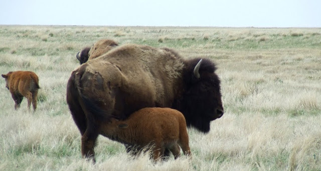Watch the  Plains Bison Video-cam in Water Hole, Canada