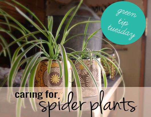 boston green blog how to care for spider plants. Black Bedroom Furniture Sets. Home Design Ideas