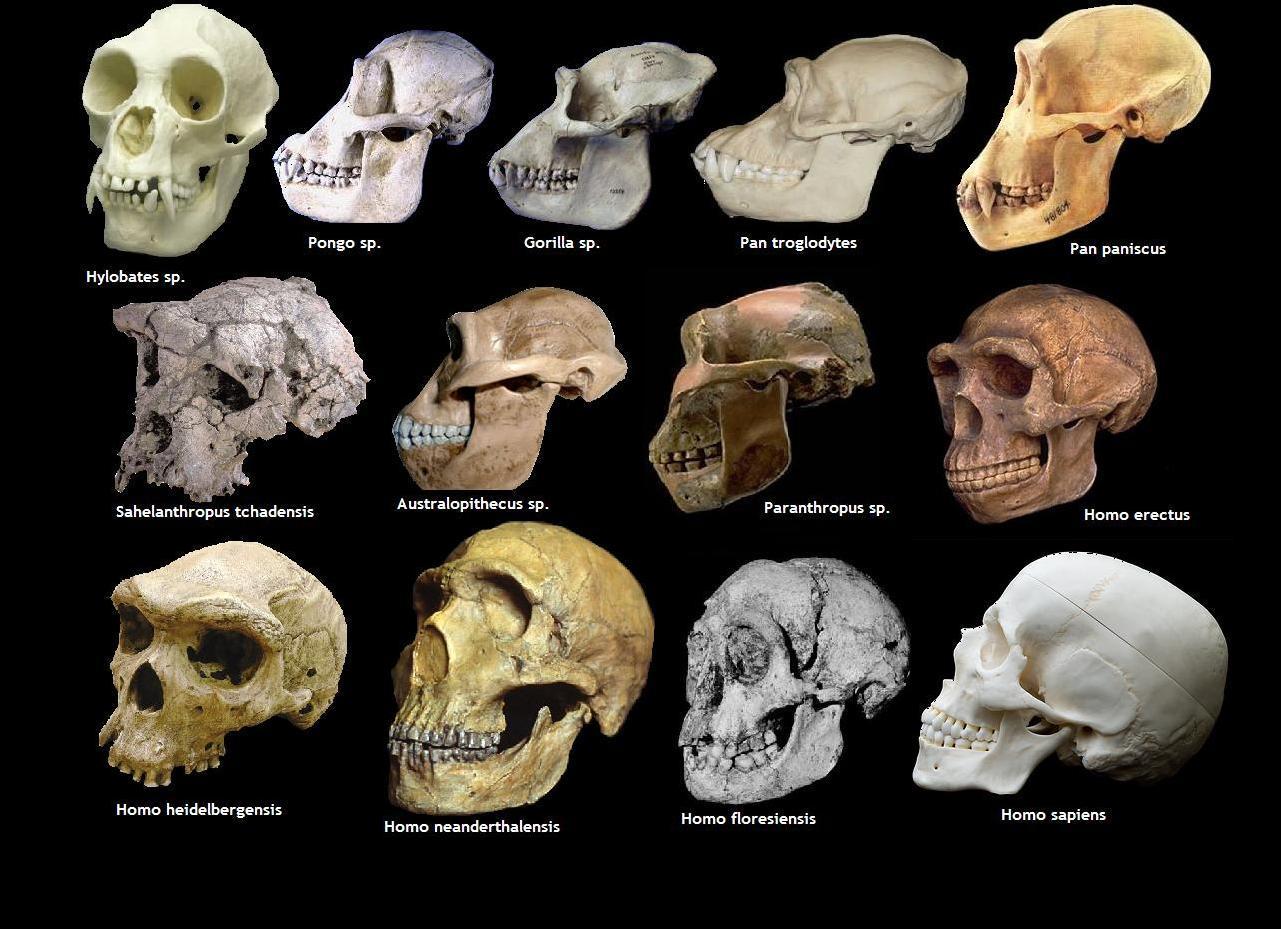 Crânios da suposta evolução