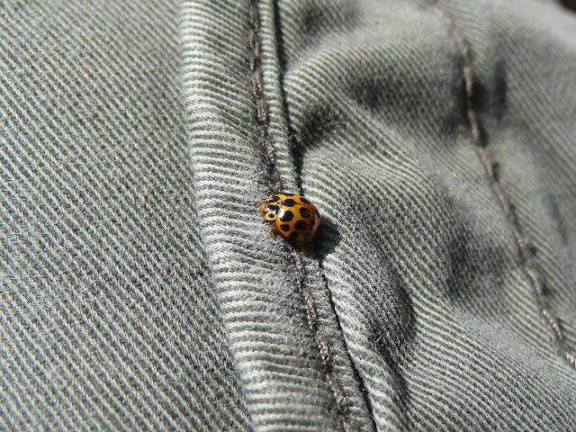 Colourful lady beetle on grey denim