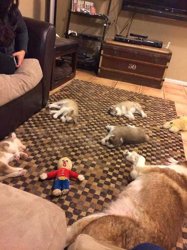Cute dogs - part 3 (50 pics), husky puppies sleeping