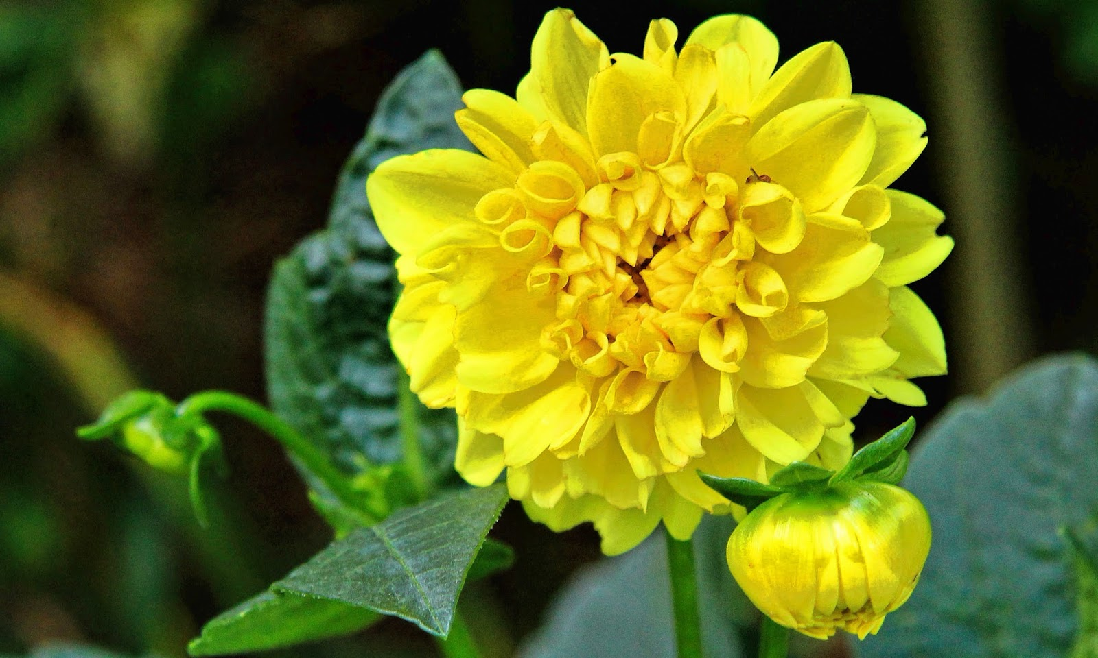 Dahlia Flower HD Wallpapers HD Wallpapers High Definition