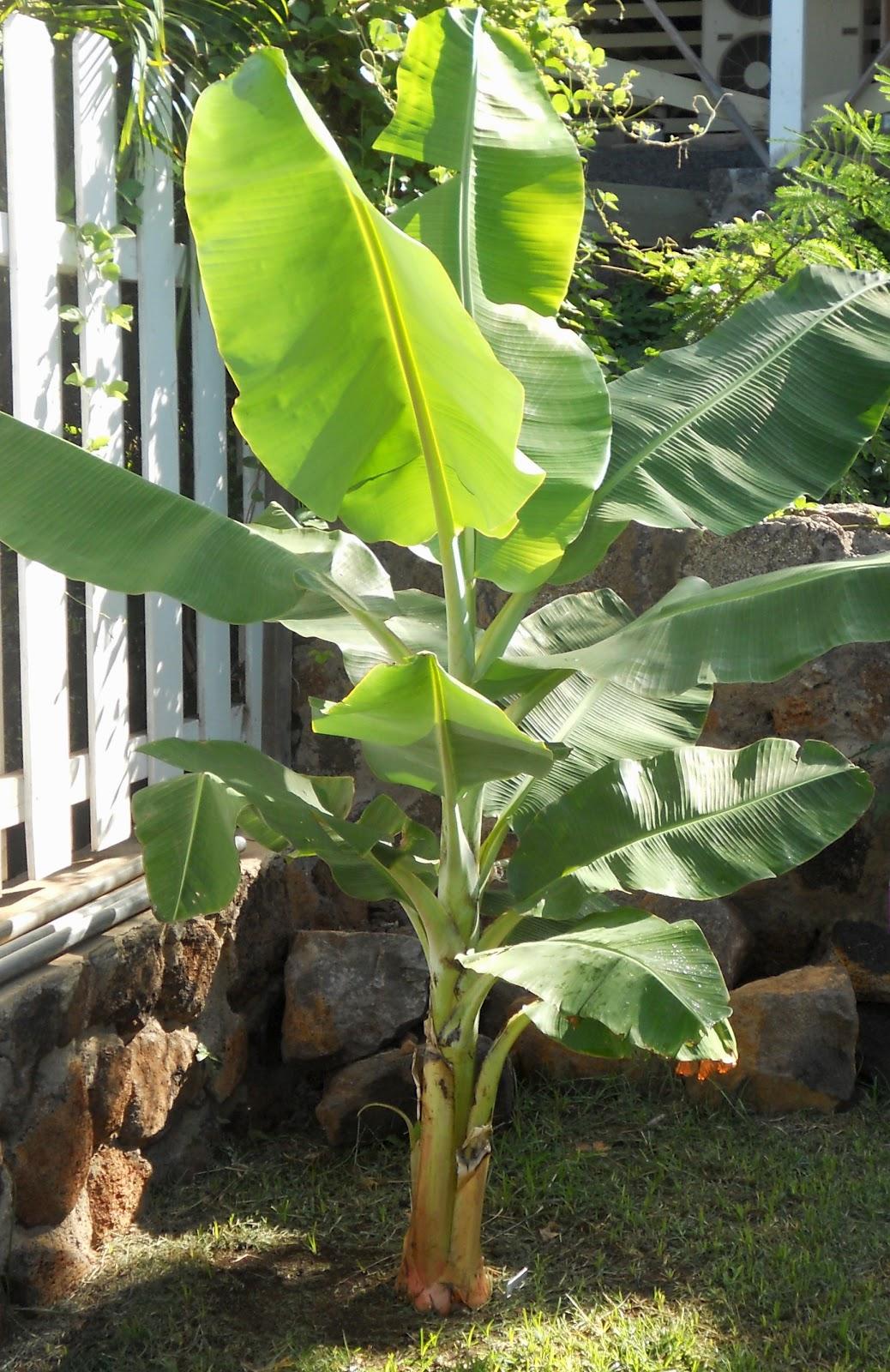Как посадить и вырастить банан в домашних условиях 29