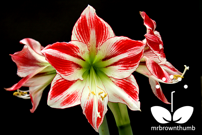 Amaryllis 39 fairy tale 39 mrbrownthumb for Amaryllis hippeastrum