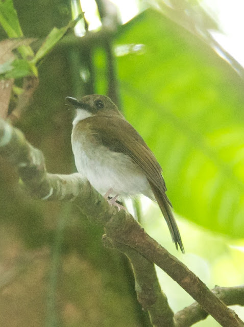 Grey-chested Jungle Flycatcher (Rhinomyias umbratilis)