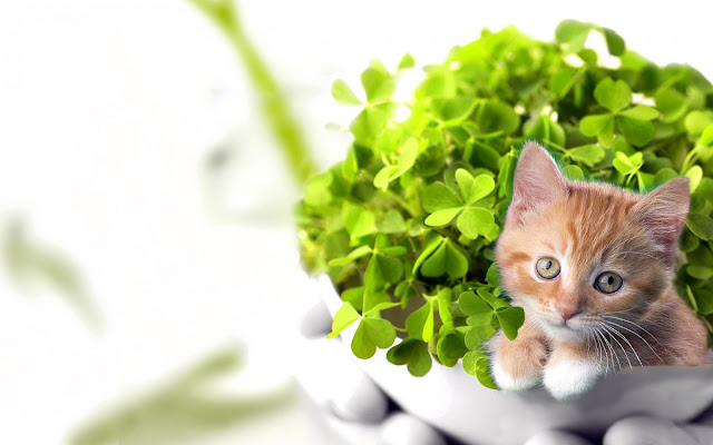 Innocent Looking Cat in A Bowl Full of Clovers HD Wallpaper