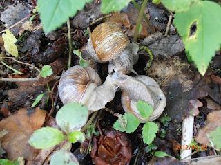 Escargots de Bourgogne en pleine reproduction.