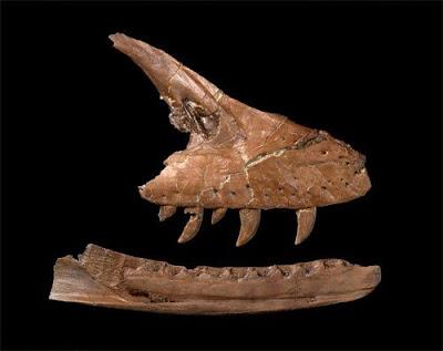Acheroraptor skull