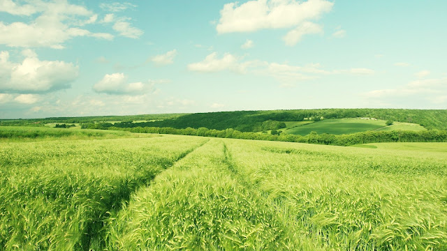 Green Wheat HD Wallpaper